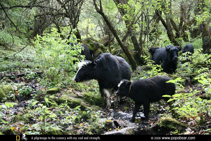 森林中的牦牛