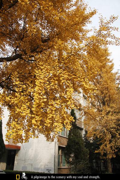 成都的银杏树